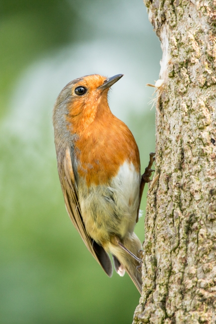 robin on a tree trunk