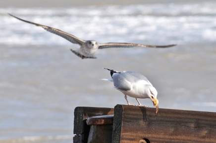 seagulls and crab