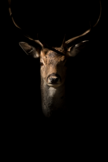 buck in the shadows