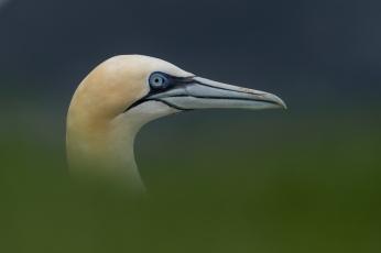 gannet 1