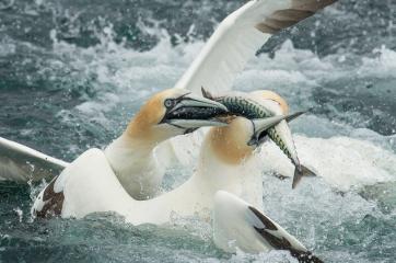 gannet squabble