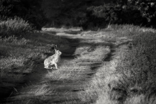 Hare in the light