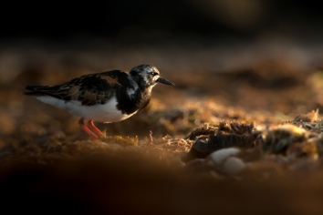 turnstone at sunset