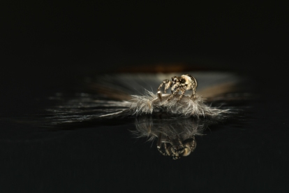 zebra spider 2