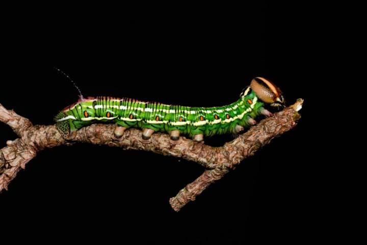 15 Pine Hawkmoth caterpillar