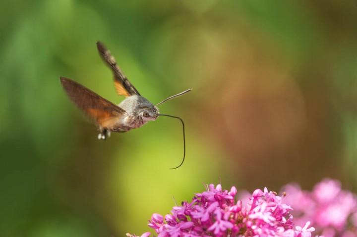 4 Hummingbird Hawkmoth 1