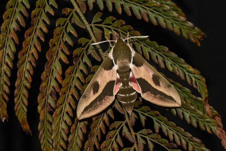 7 Spurge Moth
