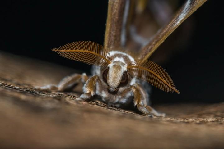 8 Cynthia moth