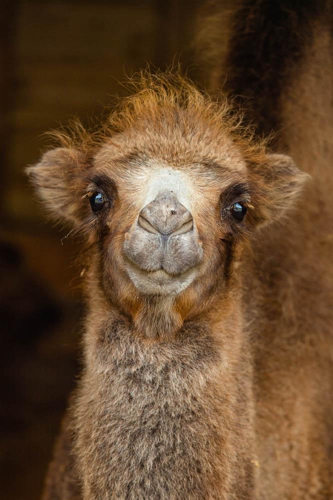 batrian camel (lympne)