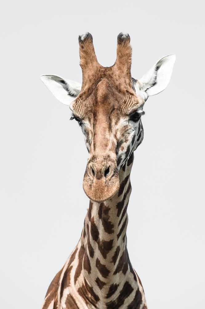 giraffe 1 (lympne)