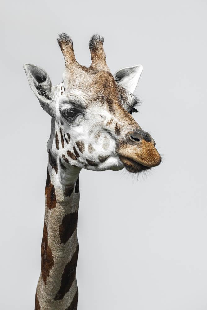 giraffe (lympne)