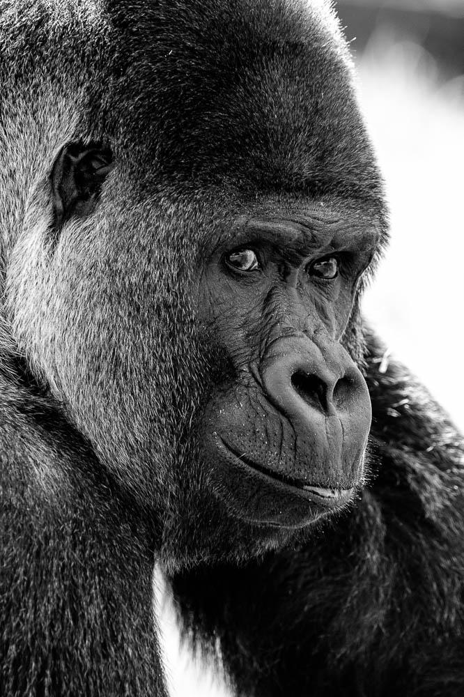 gorilla 1 (lympne)