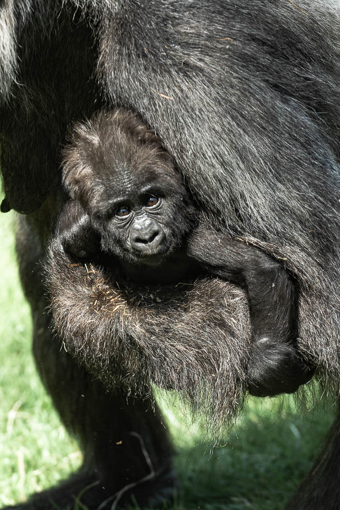 gorilla infant 1 (lympne)