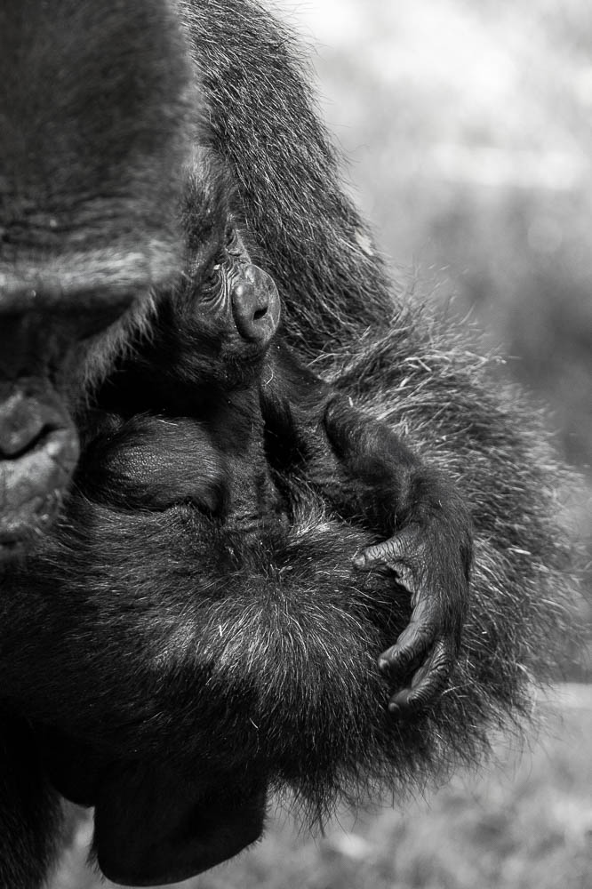 gorilla infant (lympne)