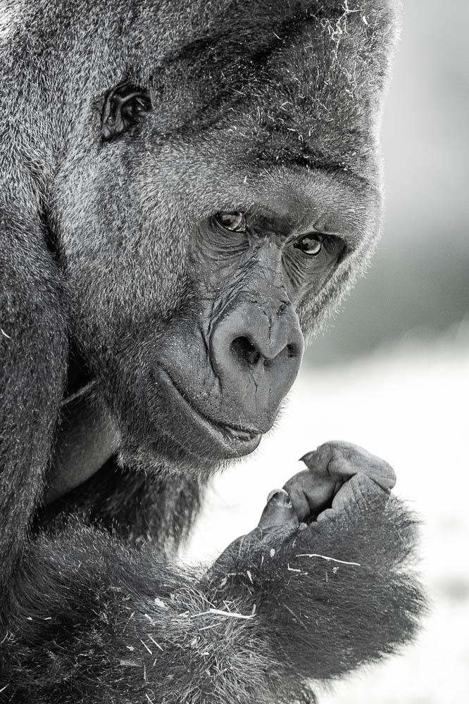 gorilla (lympne)