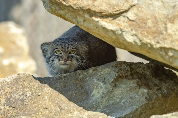 pallas cat (lympne)