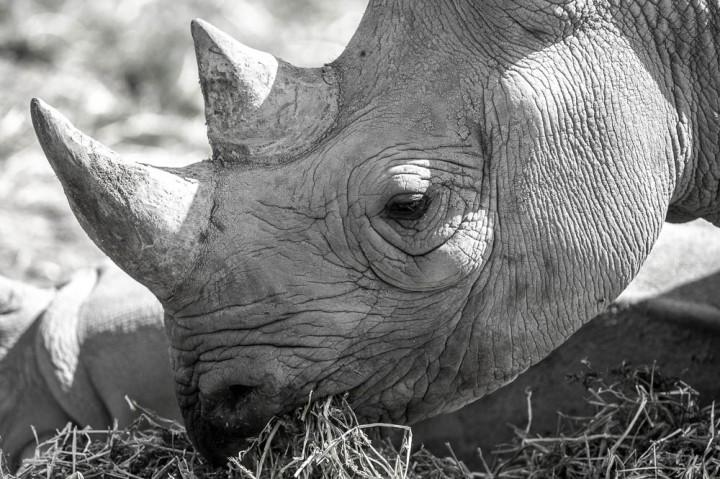 white rhino 1 (lympne)