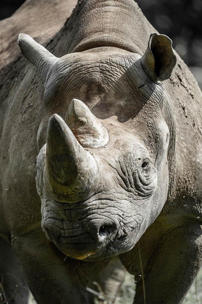 white rhino (lympne)
