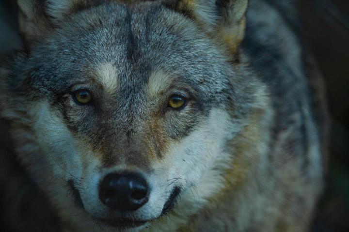 wolf (lympne)