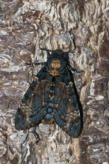 Death's head Hawk-moth