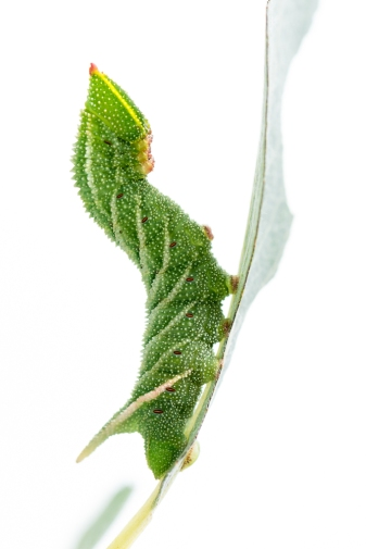 Eyed Hawk-moth caterpillar