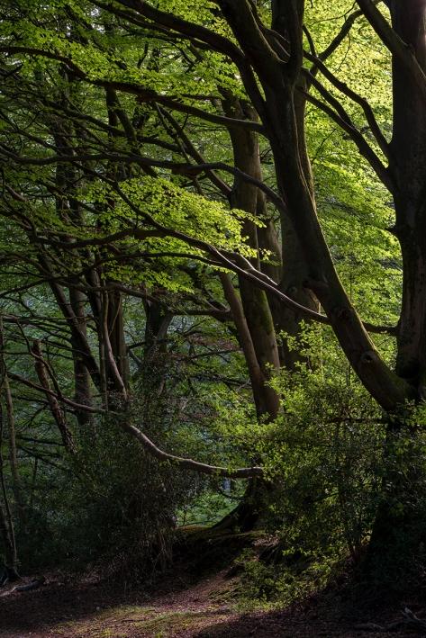 Evening Walk, Eartham Wood